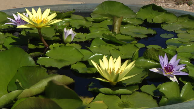 vídeos de stock e filmes b-roll de chicago, il, u.s. - roses, water lilies and other flowers on exhibition. the chicago park district's garfield park conservatory in partnership with... - organismo aquático
