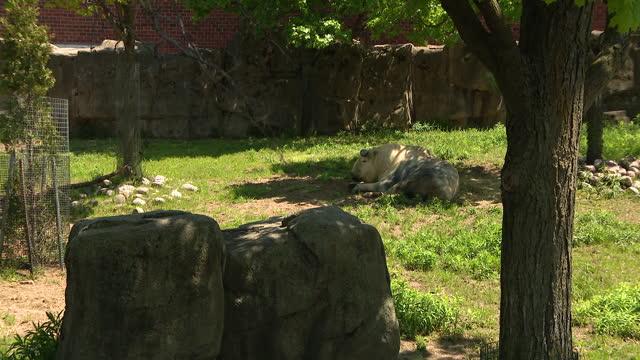 vídeos y material grabado en eventos de stock de chicago, il, u.s. - sichuan takin at lincoln park zoo on thursday, may 13, 2021. - zoológico de lincoln park