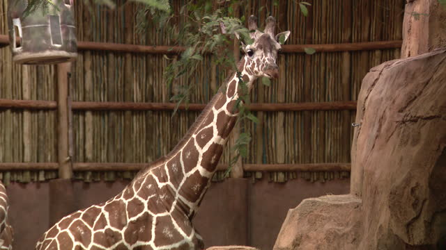 chicago, il, u.s. - two giraffes chewing leaves at lincoln park zoo, reopened after months of closure due to covid-19 pandemic. lincoln park zoo... - two animals stock videos & royalty-free footage