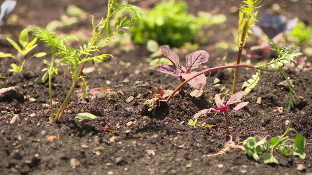 "wgn chicago il us volunteers planting vegetables in urban garden on thursday june 11 grant park's ""art on the farm"" a ""landscaped"" urban farm teens... - simple living stock videos & royalty-free footage"
