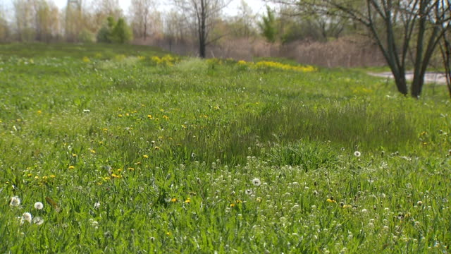 wgn chicago il us wild flowers in a field with geese on thursday may 7 2020 - dandelion stock videos & royalty-free footage