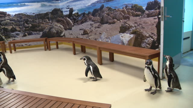 wgn – chicago illinois us – humboldt penguins visiting interiors of brookfield zoo closed due to covid19 pandemic on monday april 20 2020 - zoo stock videos & royalty-free footage