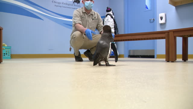 chicago, illinois, u.s. – humboldt penguins with his carer inside of brookfield zoo, closed due to covid-19 pandemic, on monday, april 20, 2020. - care stock videos & royalty-free footage
