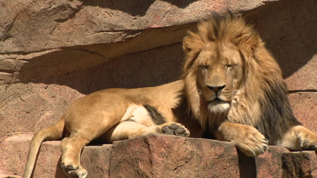 chicago, illinois, u.s. – lions in outdoor enclosure in brookfield zoo, closed due to covid-19 pandemic, on monday, april 20, 2020. - löwe großkatze stock-videos und b-roll-filmmaterial
