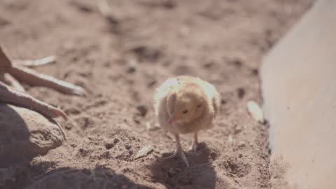 chick / africa - jungvogel stock-videos und b-roll-filmmaterial