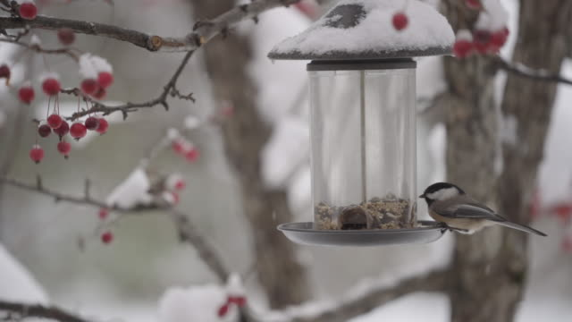 chickadee och nötväcka äta frön - mata bildbanksvideor och videomaterial från bakom kulisserna