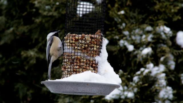 Chickadee eating in a snowfall