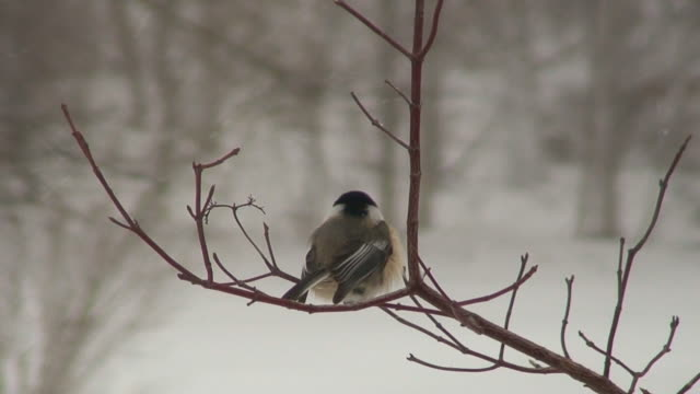 chickadee in the snow - branch plant part stock videos and b-roll footage