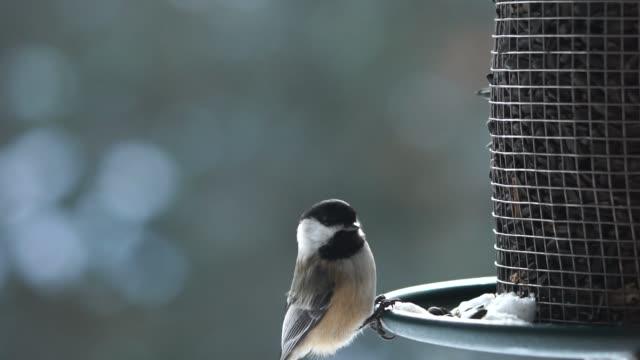 chickadee on a birdfeeder - songbird stock videos & royalty-free footage