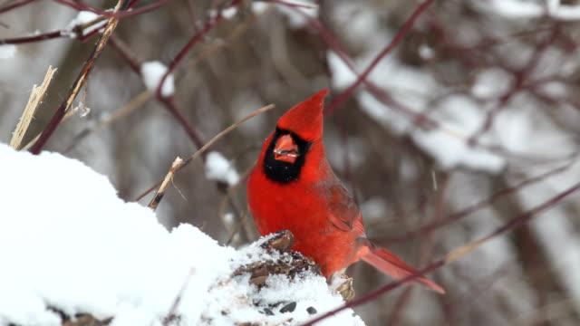 Chickadees and cardinals