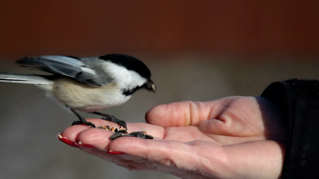 chickadees eats seed out of woman's hand - songbird stock videos & royalty-free footage
