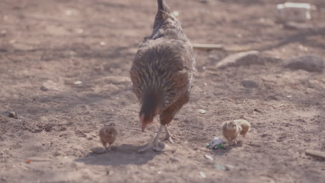 chicken and chick / africa - chicken coop stock videos & royalty-free footage