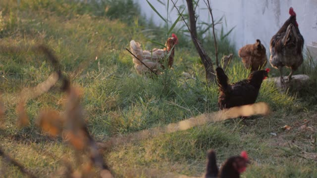 chicken brood on a farm - scavenging stock videos & royalty-free footage