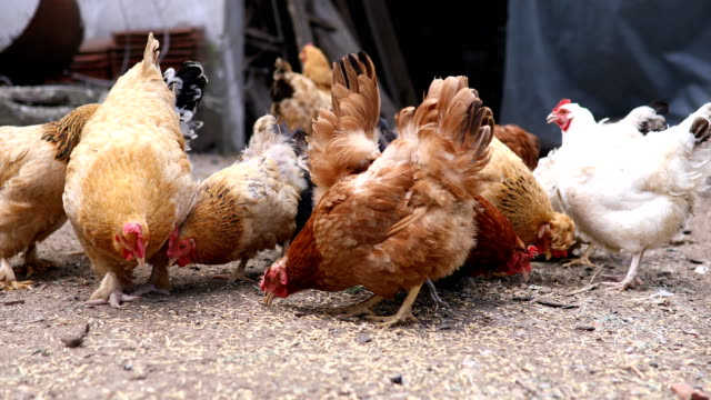 chicken brood on a farm - feeding stock videos & royalty-free footage