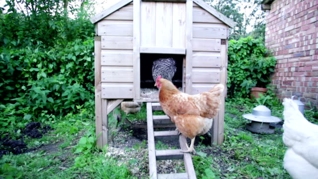 chicken coop... - chicken coop stock videos and b-roll footage