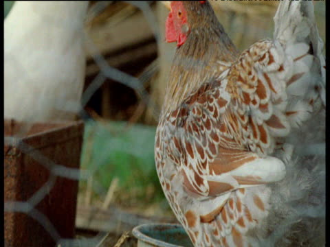 chicken drinks in coop, uk - chicken coop stock videos & royalty-free footage