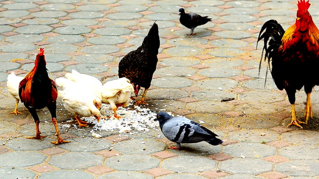 vídeos de stock, filmes e b-roll de comer arroz de frango - boca animal