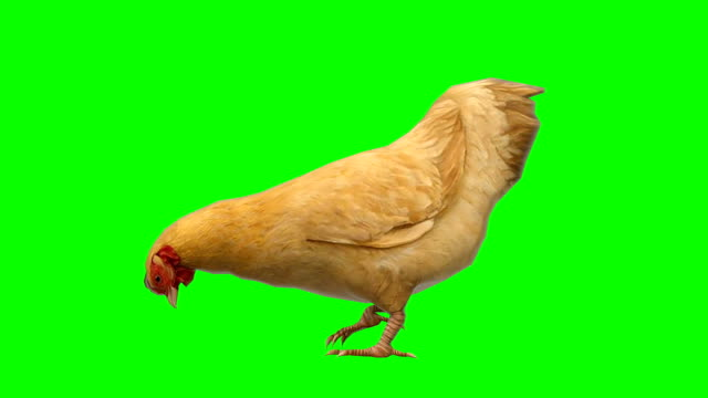 chicken eating animal green screen (loopable) - design element stock videos & royalty-free footage
