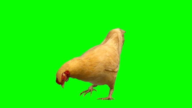 vídeos y material grabado en eventos de stock de pollo comiendo animal pantalla verde (loopable) - pollo