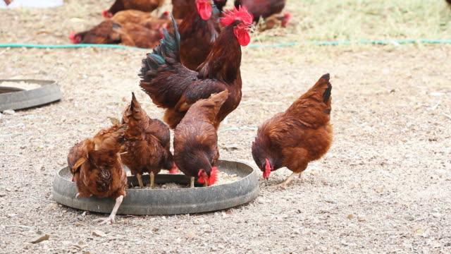 Huhn Essen Essen in der Bauernhof