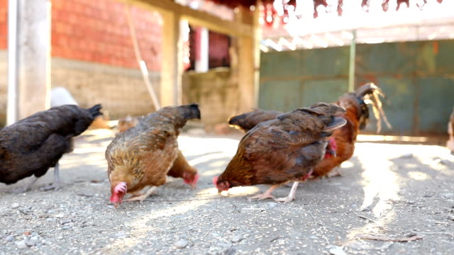 Chicken Eating Food in Farm