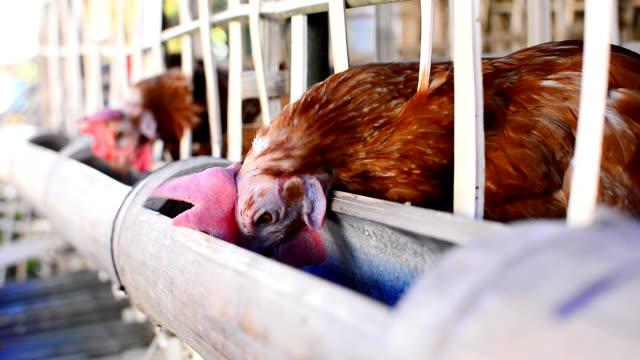 Huhn Eier zu Essen in der Bauernhof