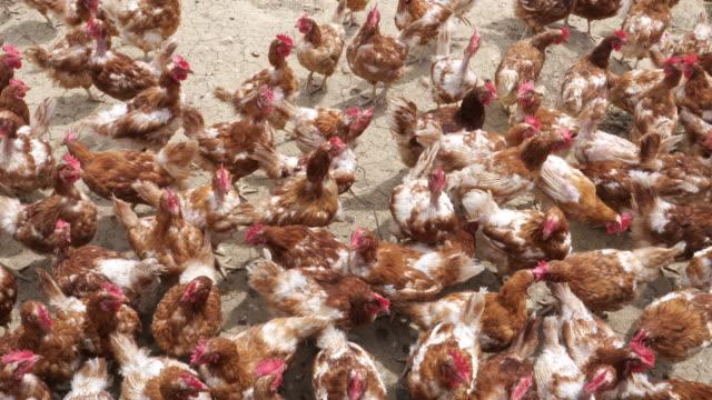 vídeos y material grabado en eventos de stock de granja de pollos. pollos de gama libre - grupo de animales
