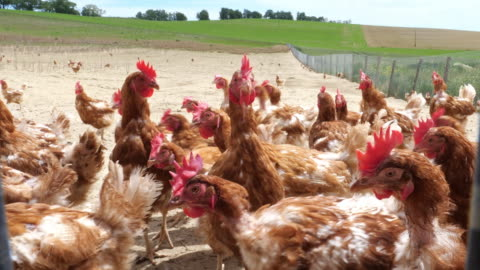 vídeos y material grabado en eventos de stock de granja de pollos. pollos de gama libre - ave de corral