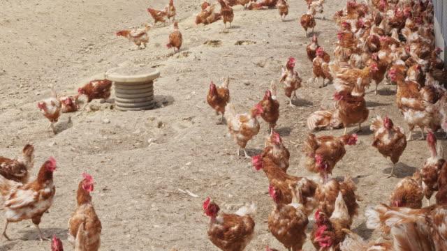 chicken farm. free range chickens - enclosure stock videos & royalty-free footage