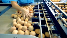 Chicken farm poultry workers sorting eggs at factory conveyor. Poultry farm industrial production line.