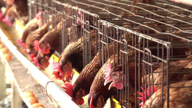 チキンの農場 - 家畜点の映像素材/bロール