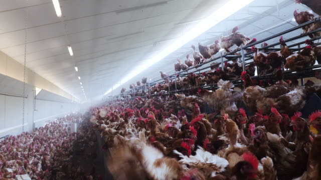 chicken farm. - chicken coop stock videos & royalty-free footage