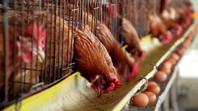 chicken farm - livestock stock videos & royalty-free footage