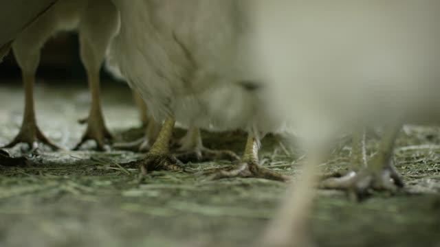 chicken feet walking - chicken coop stock videos & royalty-free footage