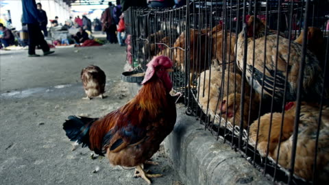 chicken for sale at the market in china - animal themes stock videos & royalty-free footage