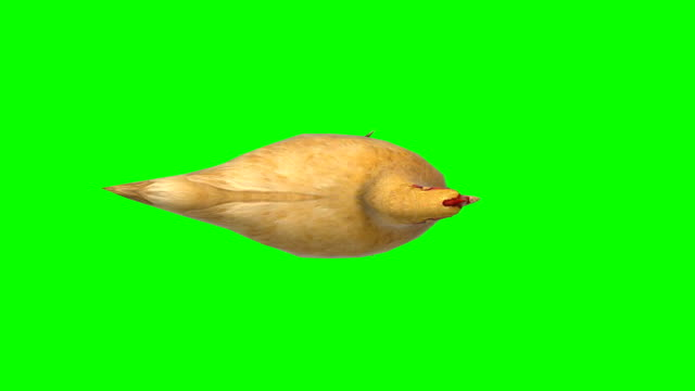 Chicken Idle Animal Green Screen (Loopable)