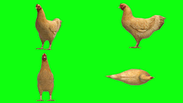 chicken idle animal green screen (loopable) - design element stock videos & royalty-free footage