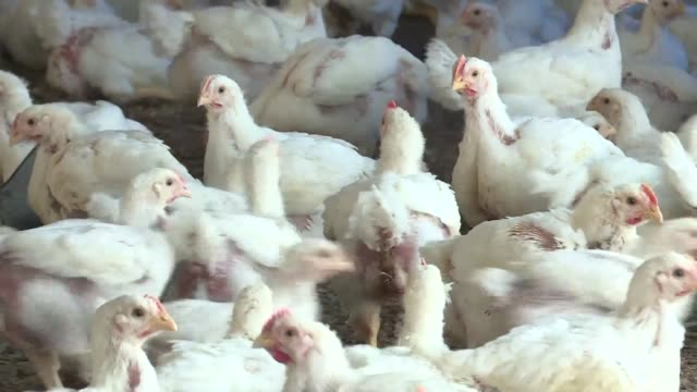stockvideo's en b-roll-footage met chicken imports to senegal have been forbidden since the outbreak of avial flu in the early 2000s but now that the senegalese government is looking... - vogelpestvirus