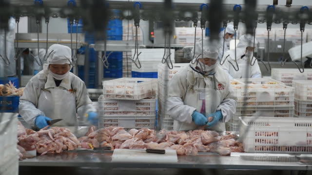 chicken in chinese poultry slaughterhouse, china. - slaughterhouse stock videos & royalty-free footage