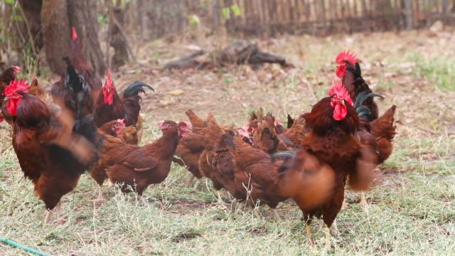 vídeos y material grabado en eventos de stock de pollo en granja - antillas occidentales