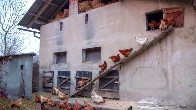 vídeos de stock e filmes b-roll de t/l frango na frente do henhouse - galinheiro
