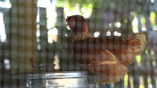 WS:Chicken in der farm
