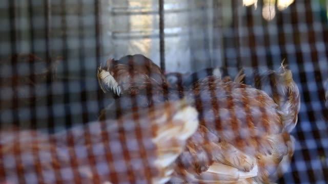 Cu:Chicken in der farm