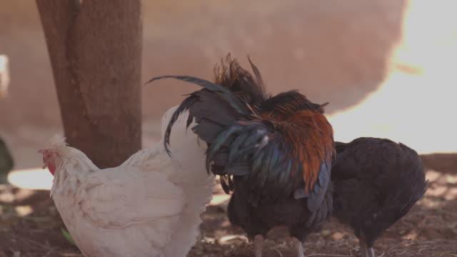 vidéos et rushes de chicken in the village / africa - plaque de montage fixe