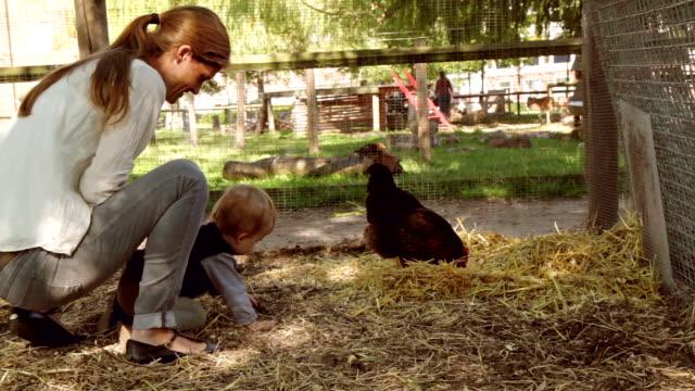 pollo di vita - gallina video stock e b–roll