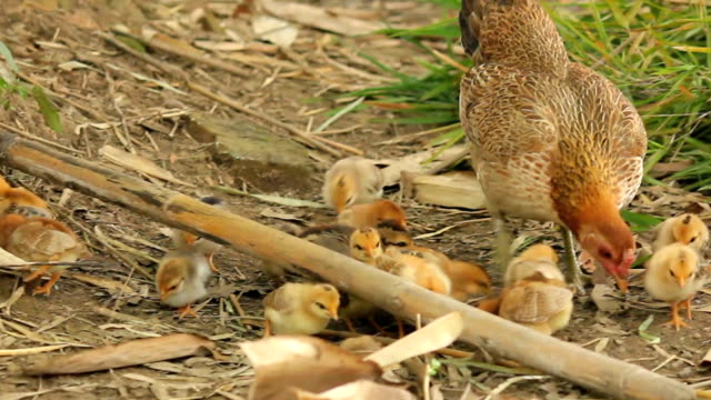 chicken mom with its chicks - young bird stock videos & royalty-free footage