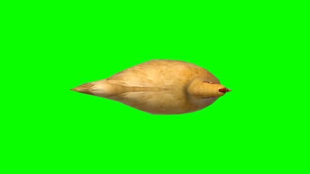 chicken moving animal green screen (loopable) - design element stock videos & royalty-free footage