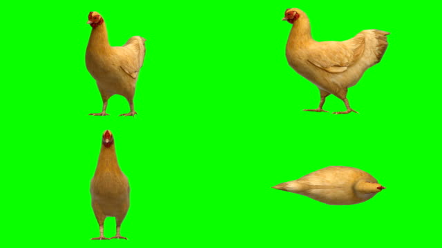 chicken moving animal green screen (loopable) - green matte stock videos & royalty-free footage