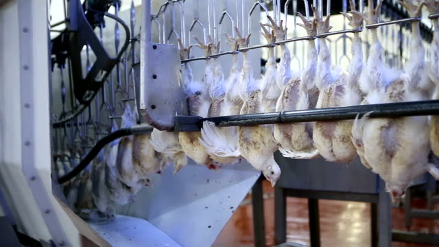 vídeos de stock e filmes b-roll de chicken processing line at poultry farm. - pássaro jovem