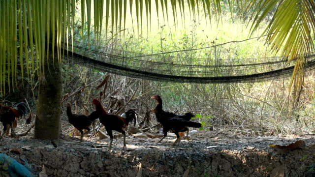 vídeos de stock e filmes b-roll de chicken running in the garden - galinha ave doméstica